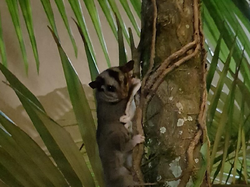 Sugar glider rescue at Tangalooma