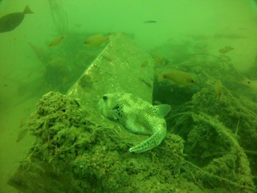 Starry Pufferfish at the Tangalooma wrecks again