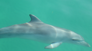 Dolphins at Tangalooma